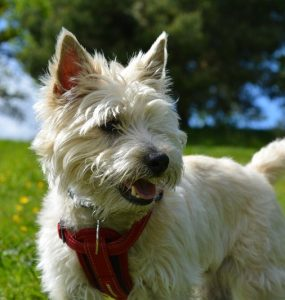 Featured of How to Train a Cairn Terrier