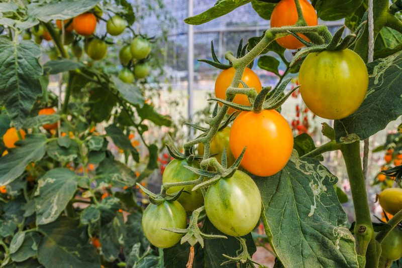 image - Many Vegetables can be Grown in Greenhouses